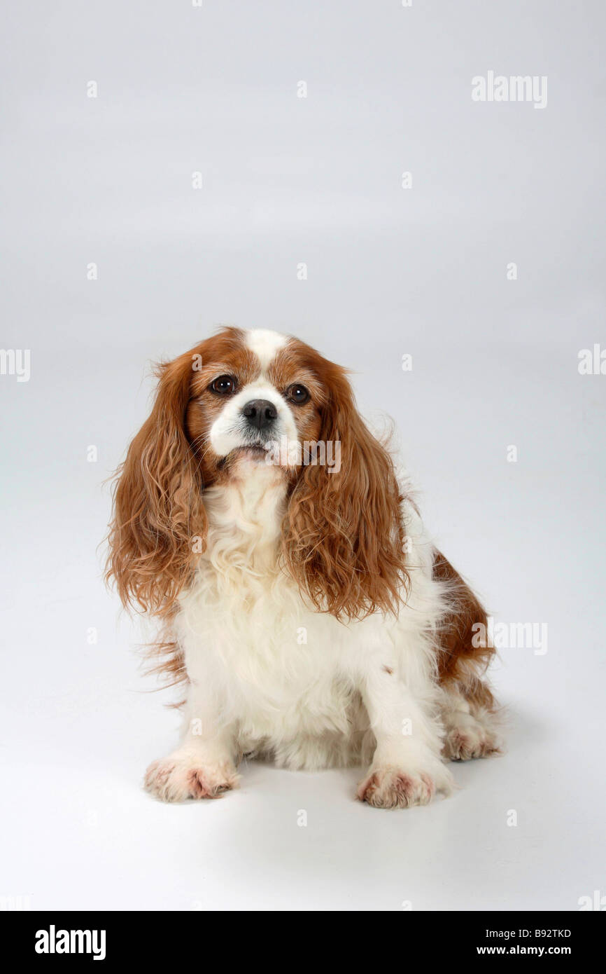 Cavalier King Charles Spaniel blenheim 7 years old retrusive occlusion too fat overweight - Stock Image