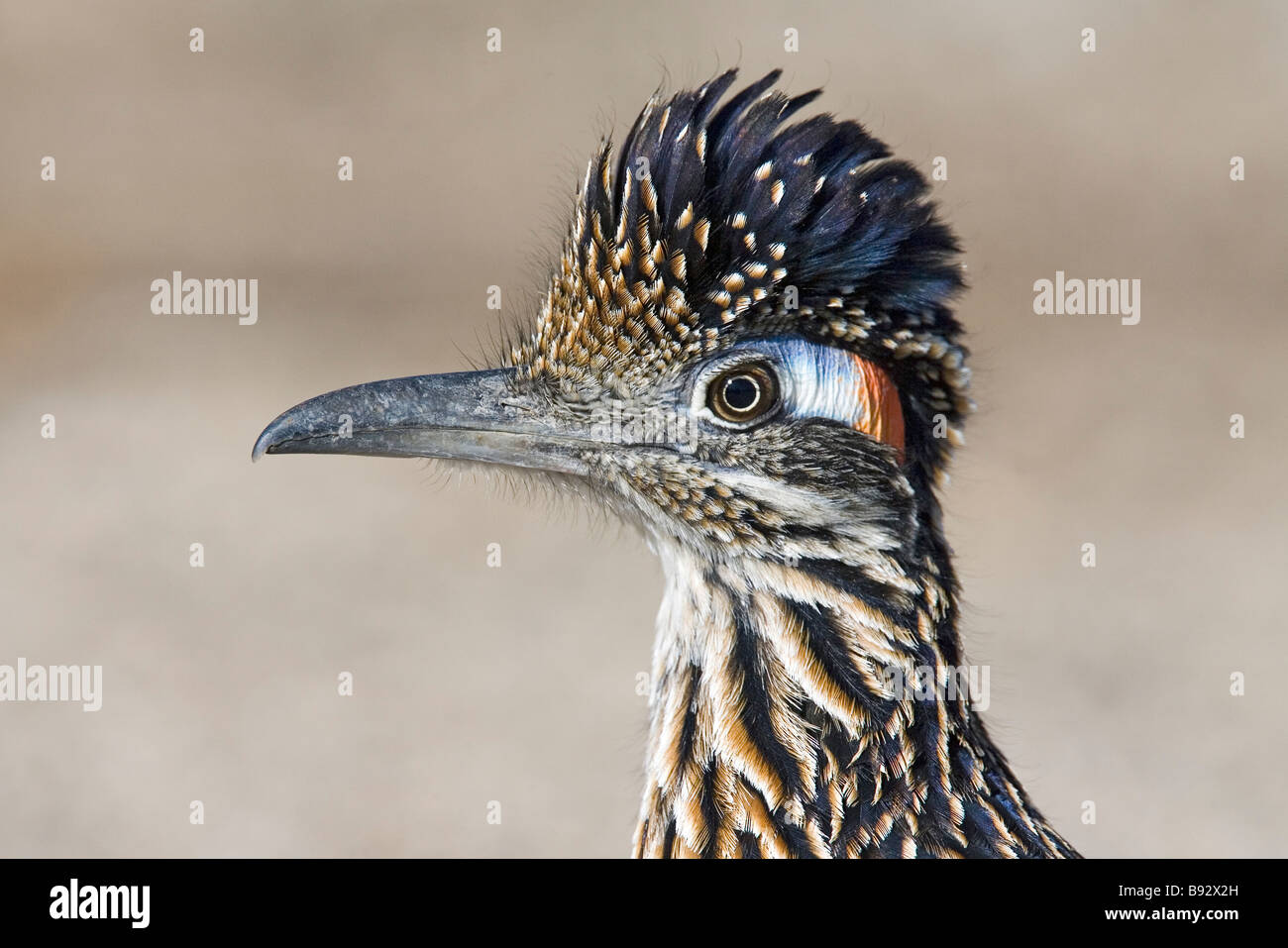 Greater Roadrunner Geococcyx californianus Tucson Pima County Arizona United States 15 March Adult Cuculidae - Stock Image