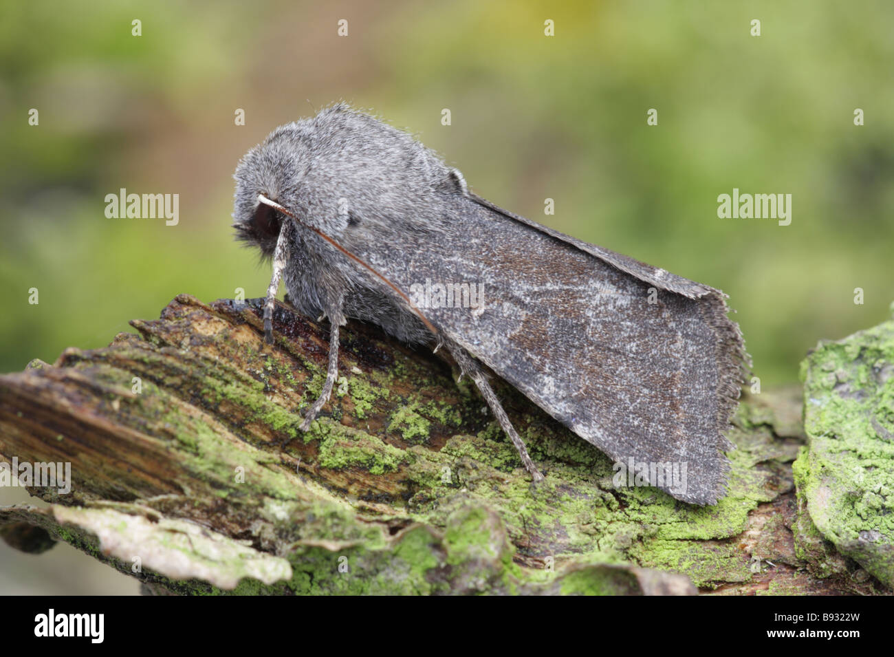 Clouded Drab - Orthosia incerta - Stock Image