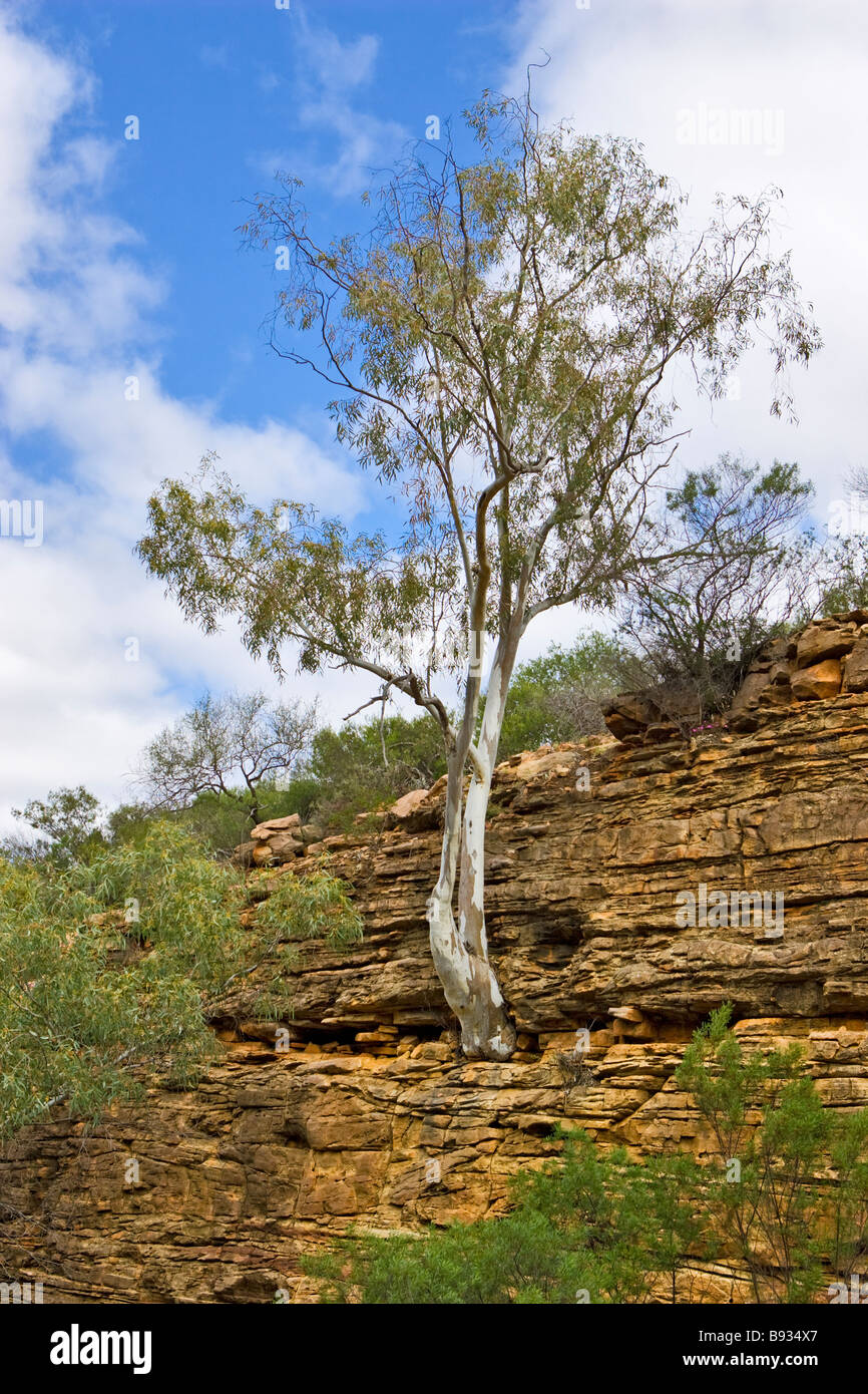 A tree growing from the side of a gorge wall in Kalbarri National Park, Western Australia Stock Photo