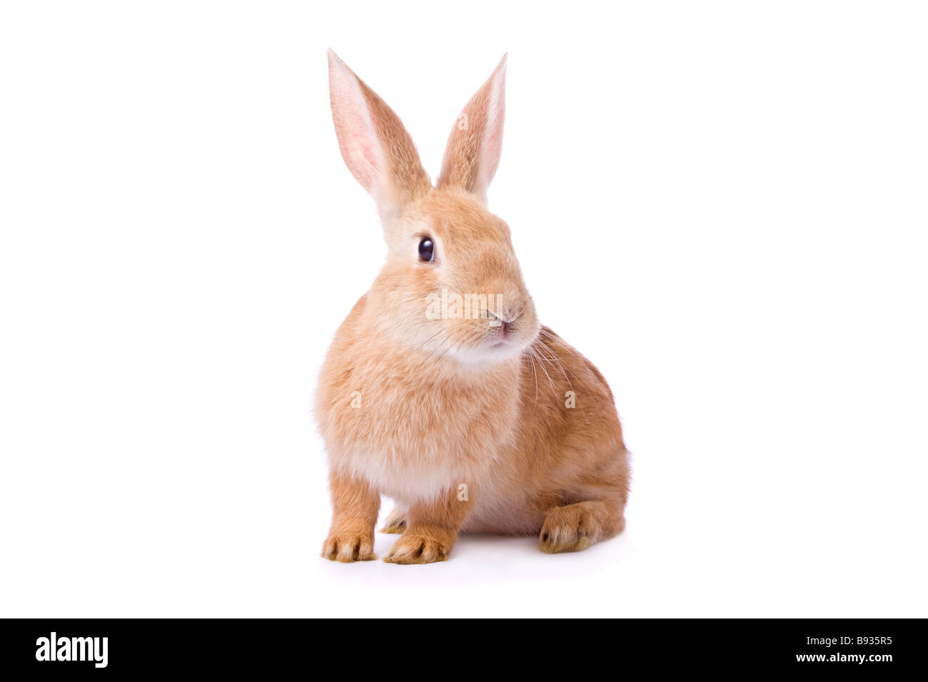 Curious young red rabbit isolated on white background /// easter bunny cut out white background cutout cute watching - Stock Image