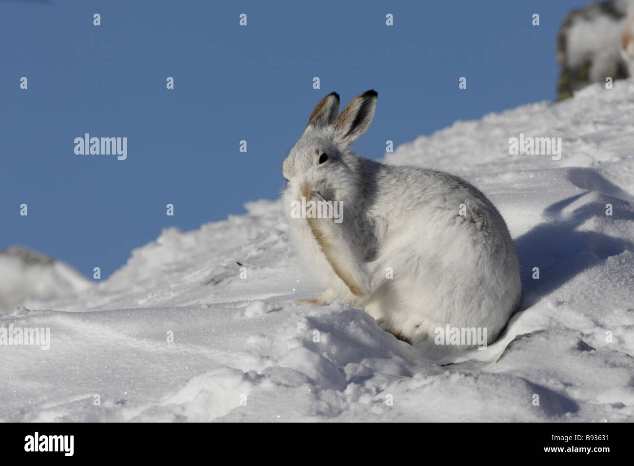 Mountain Hare Lepus timidus in winter cleaning foot - Stock Image