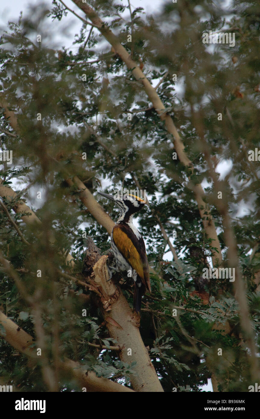 Female White-naped Flameback Chrysocolaptes festivus in a tree Rajasthan India - Stock Image