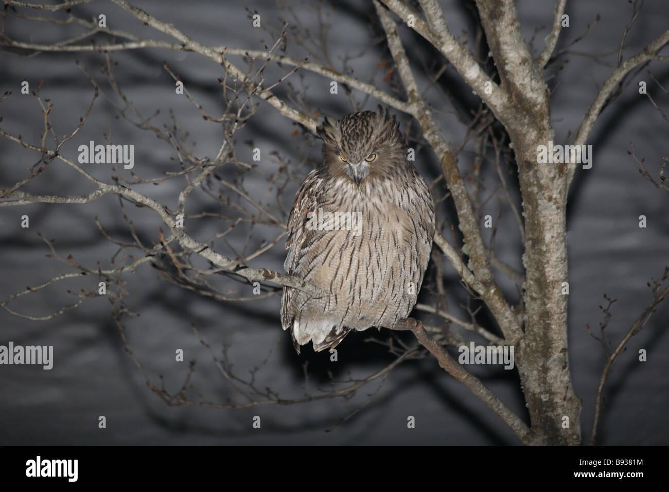Blakiston's Fish Owl Ketupa blakistoni at night in snowscene - Stock Image