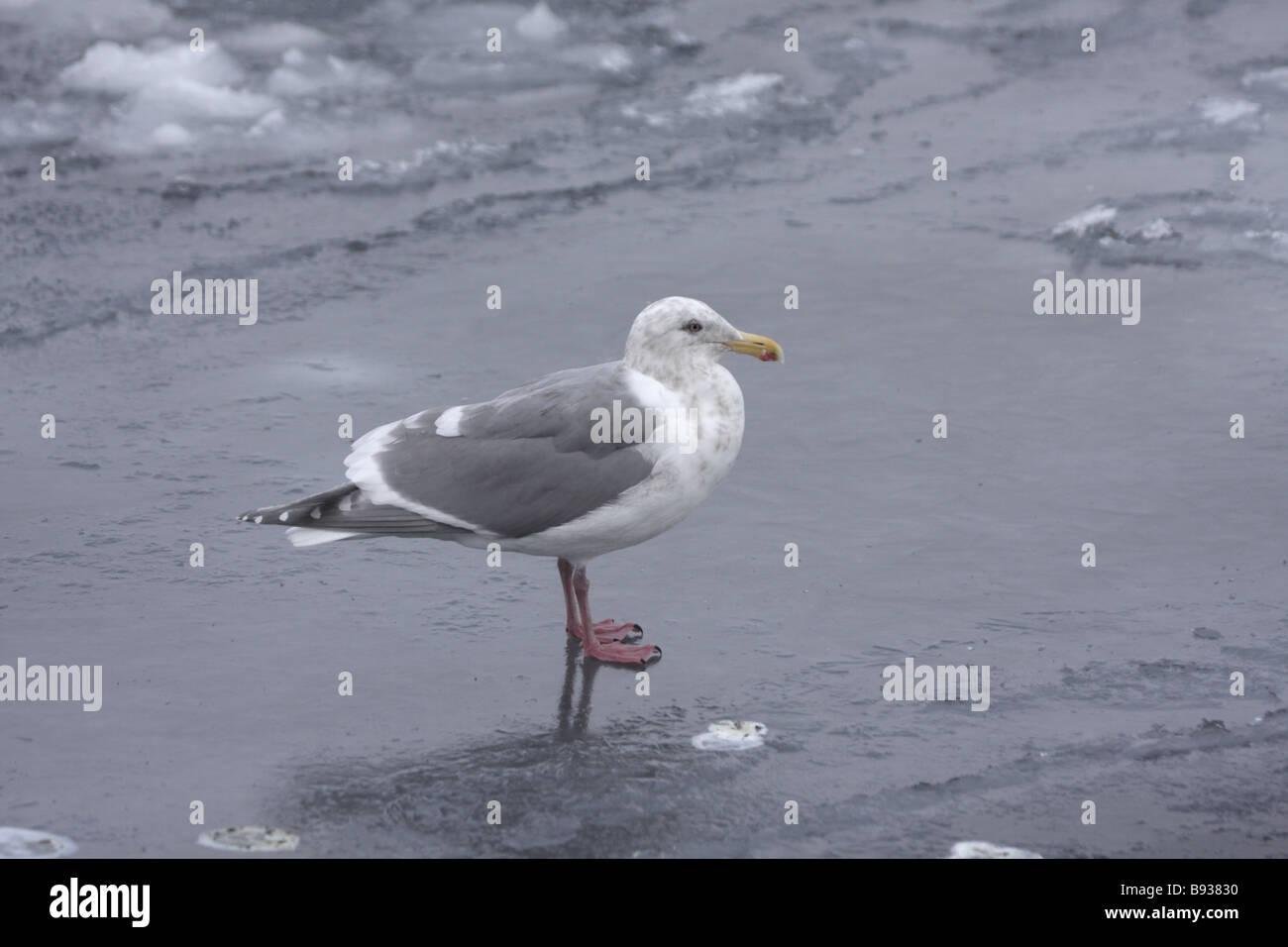 Glaucous winged Gull Larus glaucescens on sea ice - Stock Image