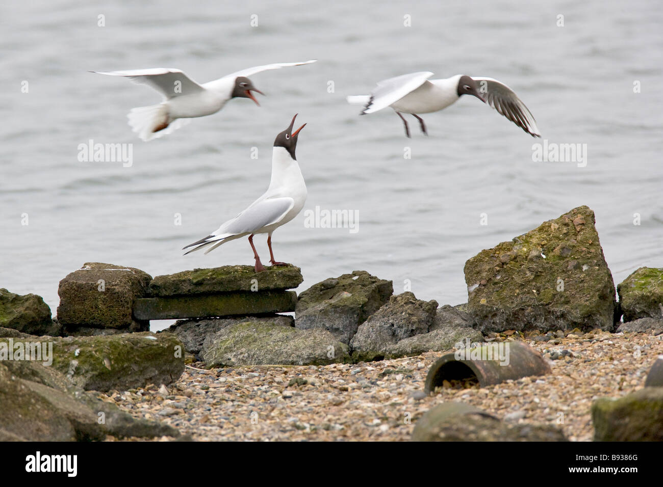 Black headed Gull Larus ridibundus Laridae - Stock Image