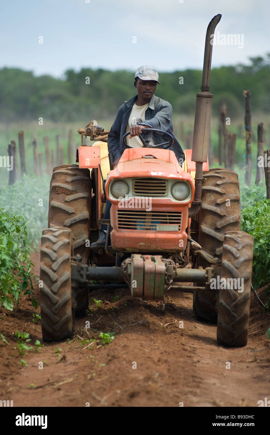 Farm worker driving a tractor and spraying tomato plants with insecticide. Pongola, Kwazulu Natal, South Africa - Stock Image
