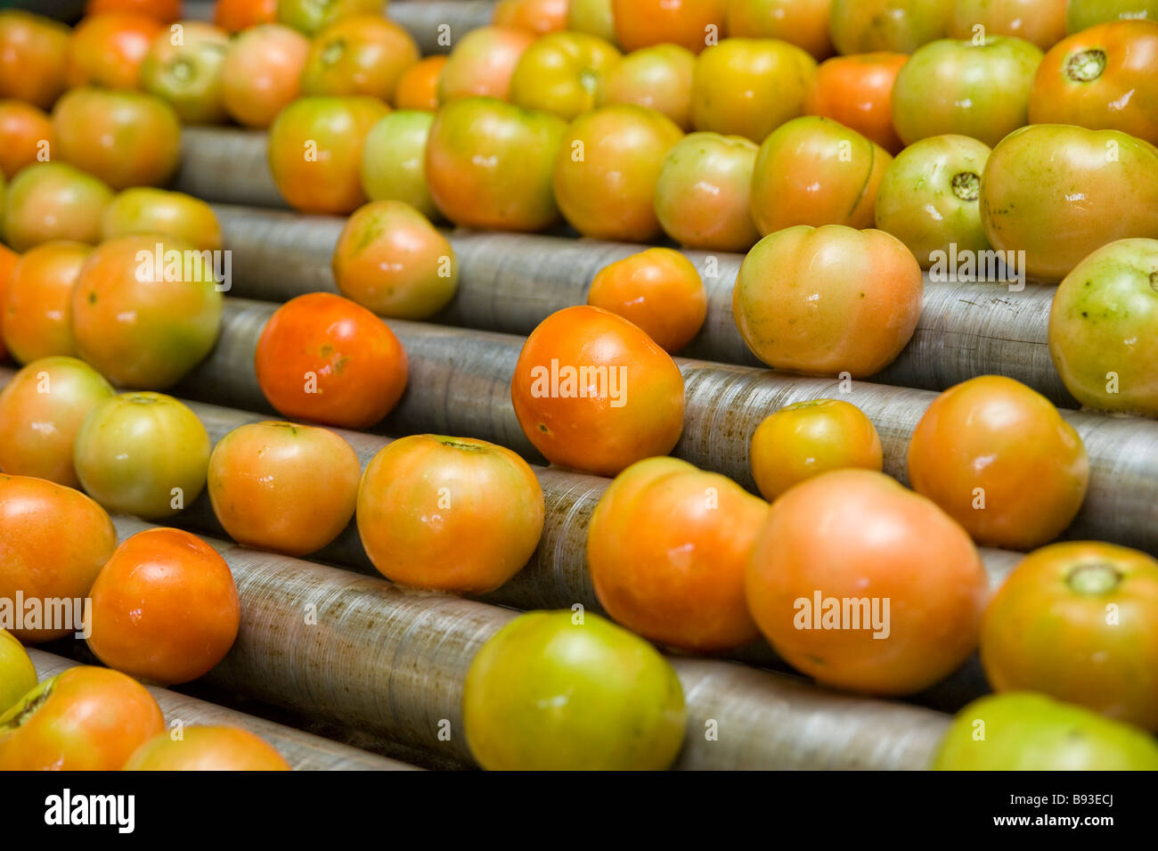 Tomatoes after being washed and moving along a production line to be sorted and packed. Pongola, Kwazulu Natal, - Stock Image