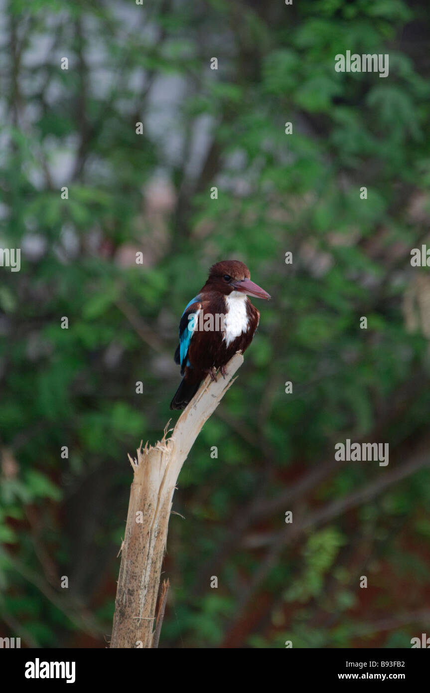 White-throated Kingfisher Halcyon smyrnensis sitting on a dry tree in Rajasthan India - Stock Image