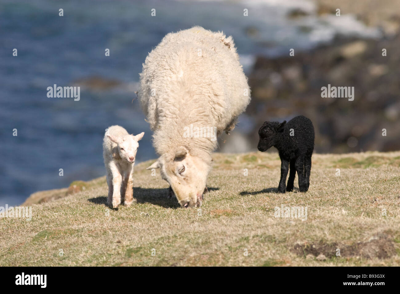 Female sheep or ewe with one black and one white lamb - Stock Image