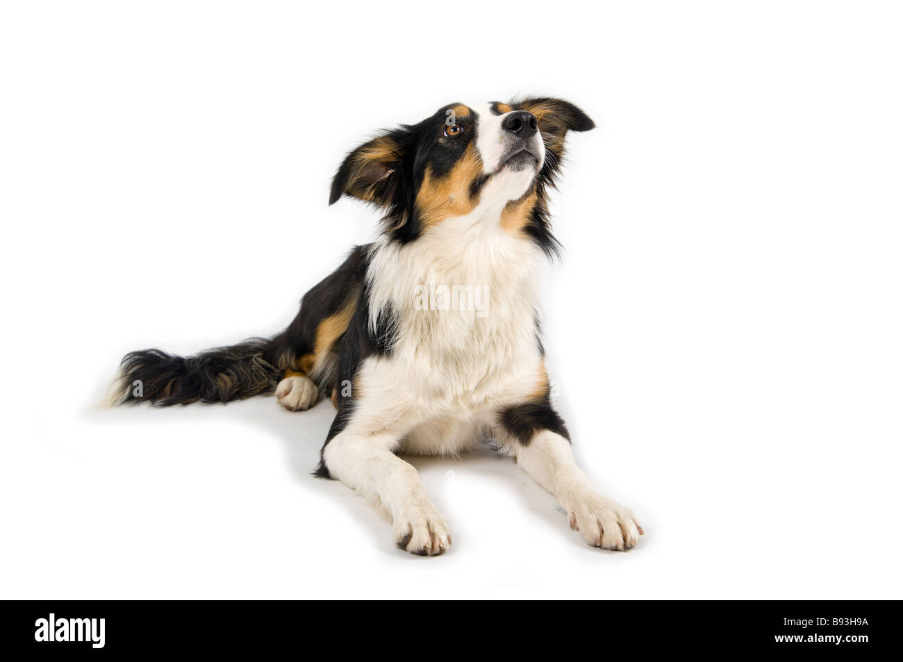 cute dog in studio - Stock Image