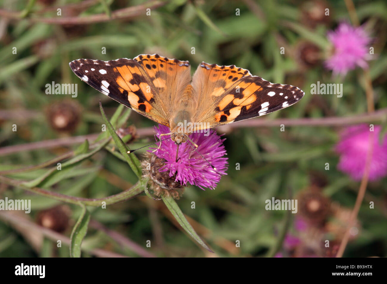 Painted lady butterfly Vanessa cardui Nymphalidae on knapweed UK - Stock Image