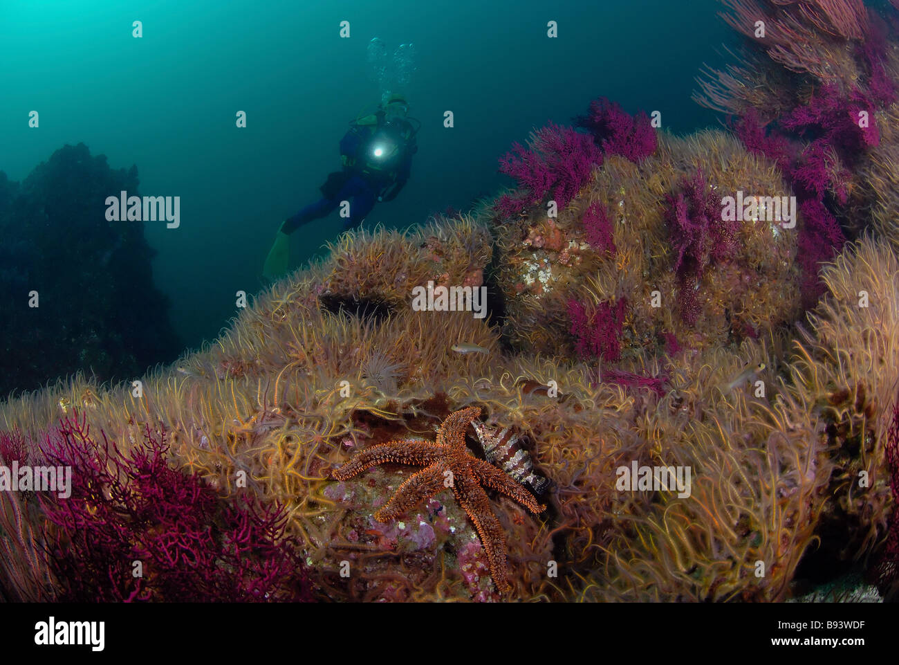 Scuba Diver over Brittle Star Field with Rainbow Starfish and Painted Greenling Anacapa Island Channel Islands Pacific Stock Photo
