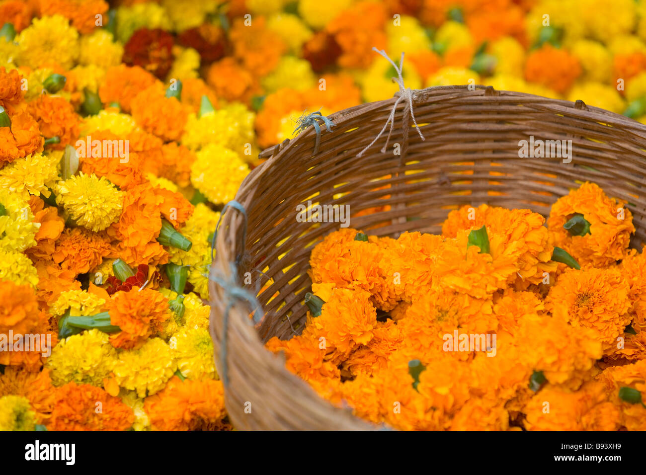 d84b7e9d9e0 Marigold heads for sale used for Hindu Puja/holy ceremonies at the flower  market Kolkata, or Calcutta, West Bengal, India