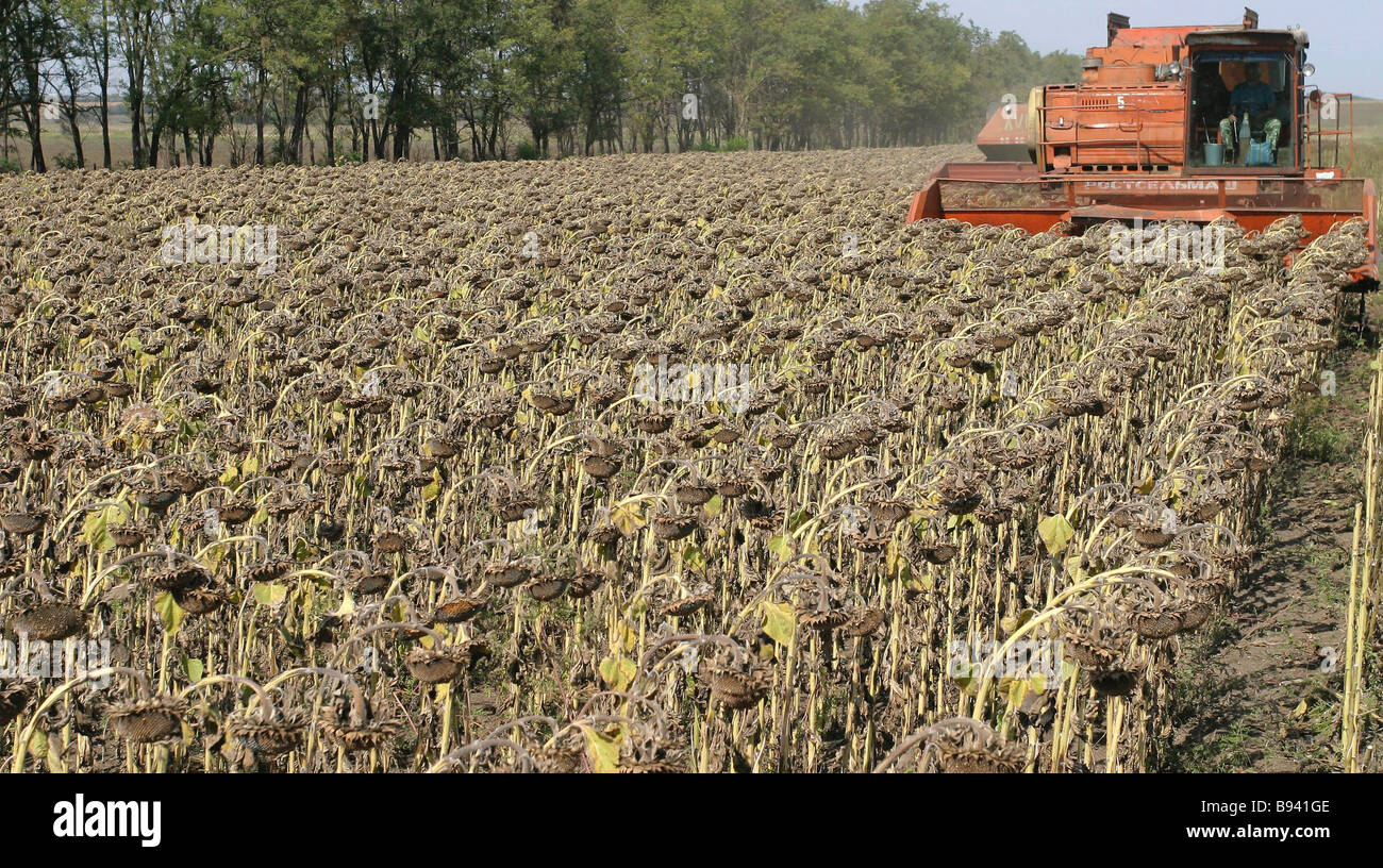 Sunflower harvesting is nearing completion in Azov District Rostov Region Stock Photo