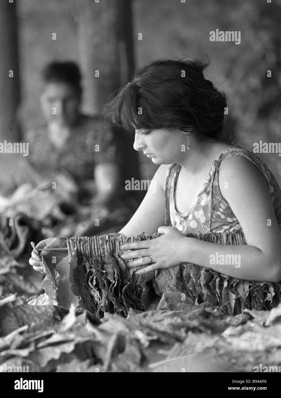 Narine Manukian from Voskevaz state farm strings tobacco leaves for further drying - Stock Image