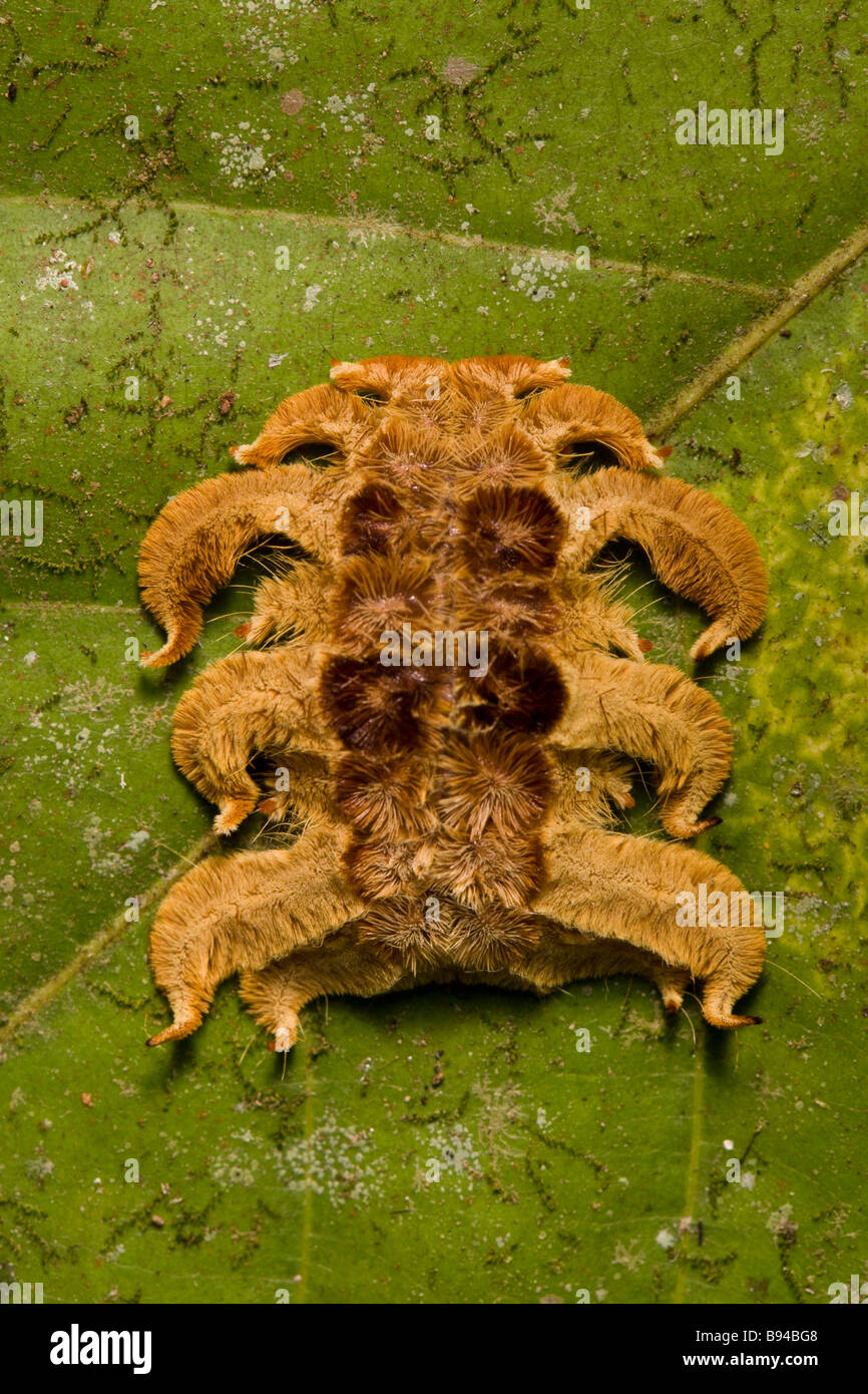Strange Costa Rican caterpillar the Monkey slug a hag moth larva (Phobetron hipparchia) in the Osa Peninsula, Costa - Stock Image