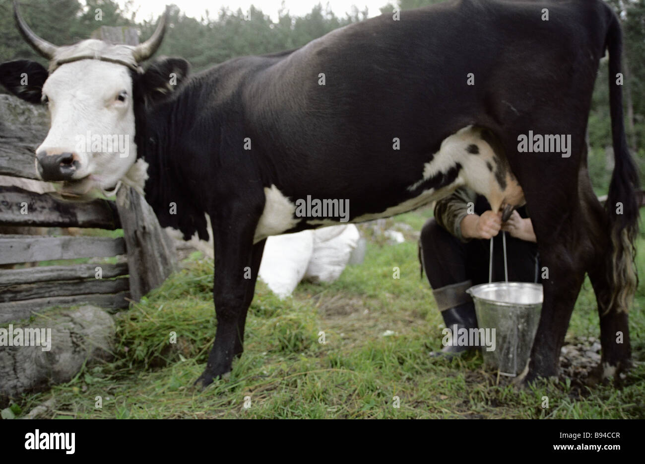 Morning milking at a farmer s homestead - Stock Image