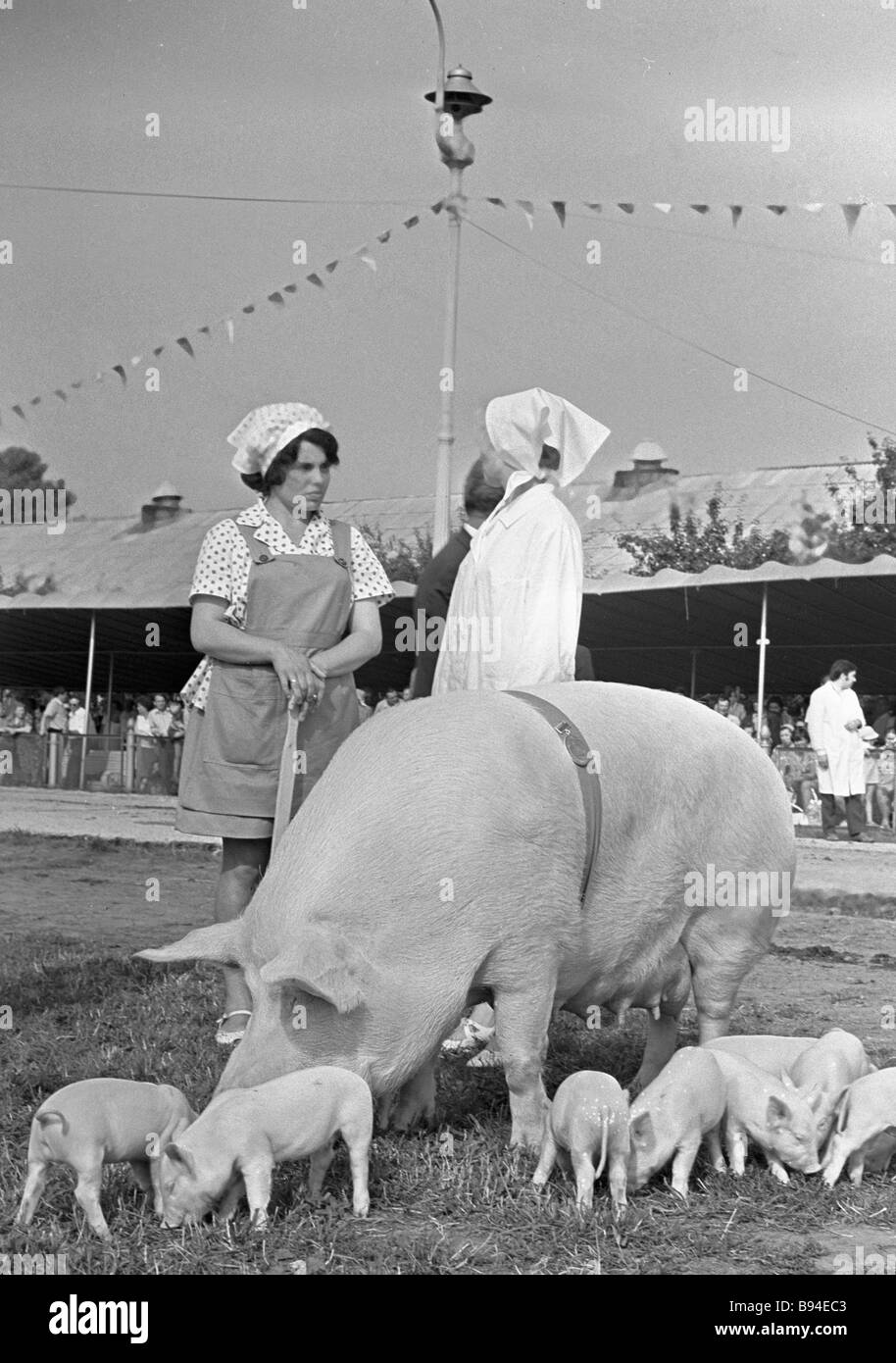Staff from the Pig Breeding Pavilion at the Exhibition of Economic Achievements tending a sow with piglets on a - Stock Image