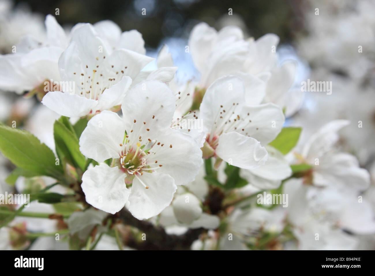 Spring blossom - Stock Image