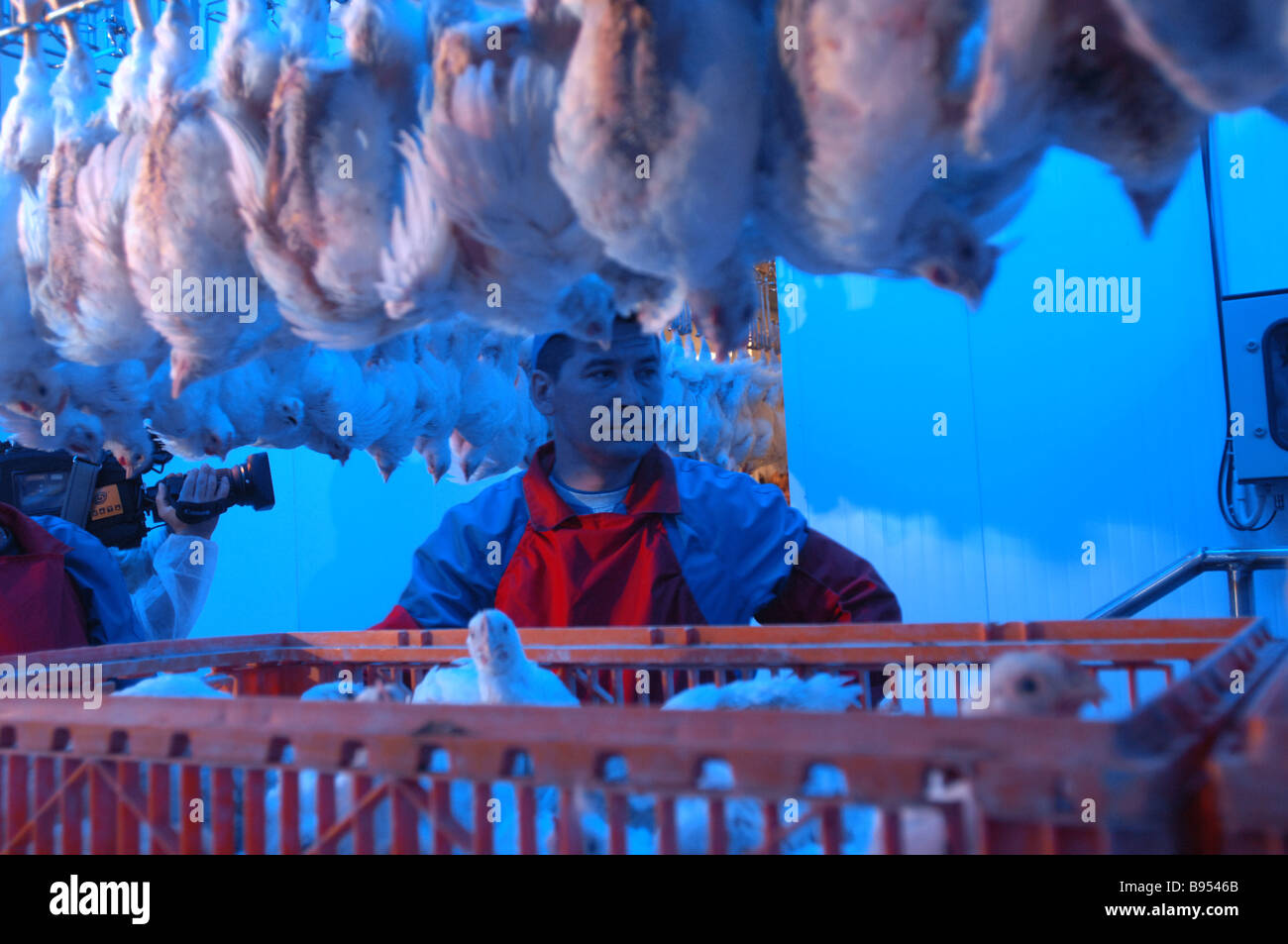 A stunning and feather removal line at a poultry processing factory of the Mosselprom firm - Stock Image