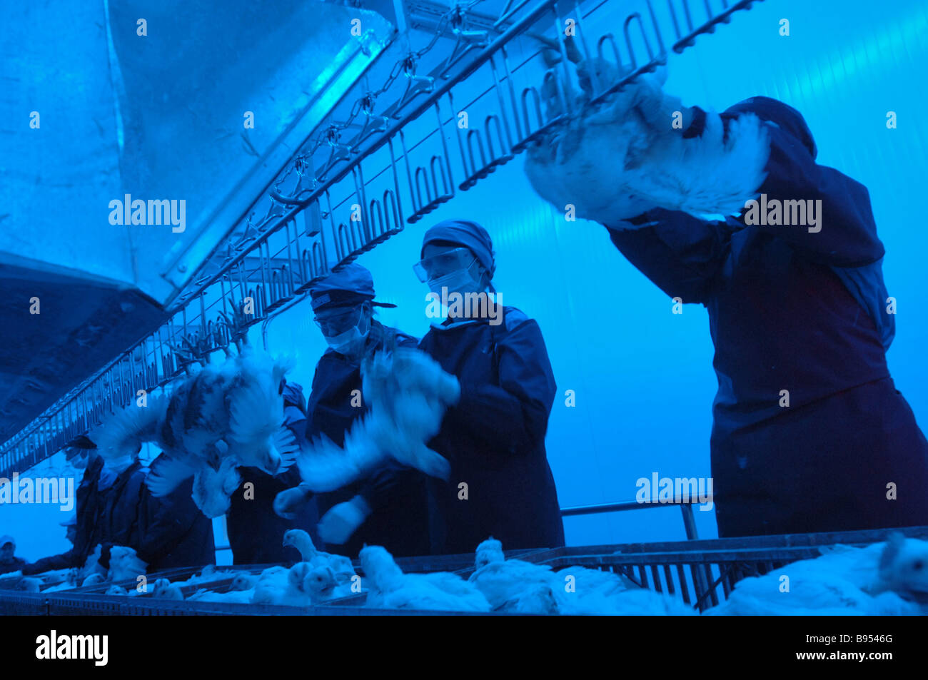 A live chicken line at a new poultry processing factory of the Mosselprom firm - Stock Image