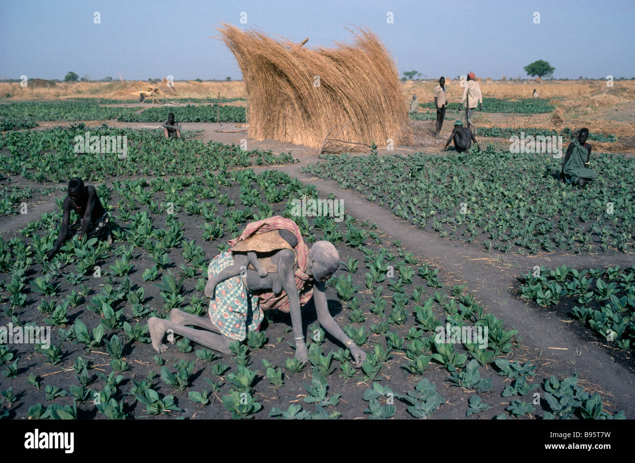 SUDAN Agriculture Farming Dinka tending tobacco crop woman carrying child on her back in foreground. - Stock Image