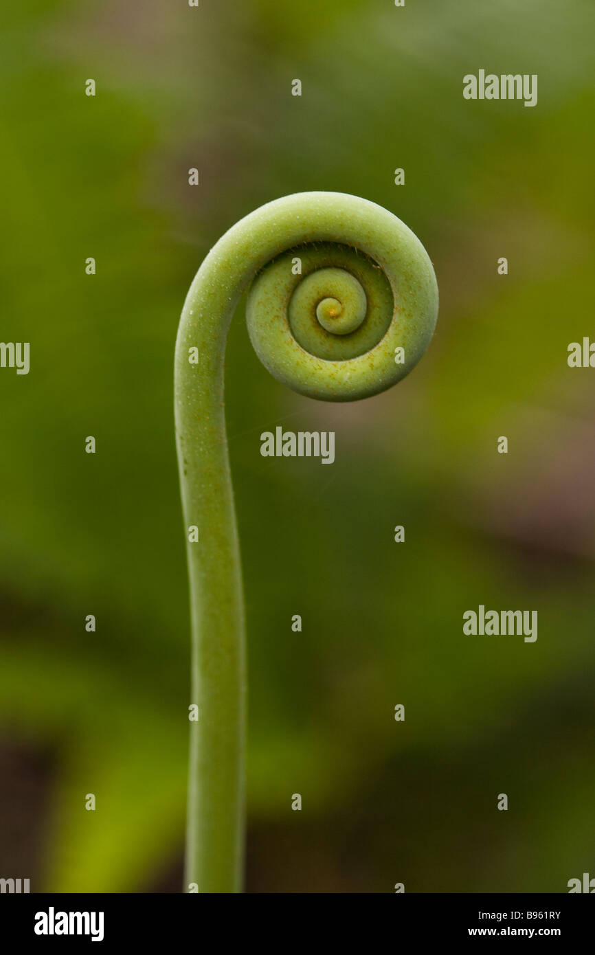 Close up of an unfolding fern in the Osa Peninsula, Costa Rica. - Stock Image