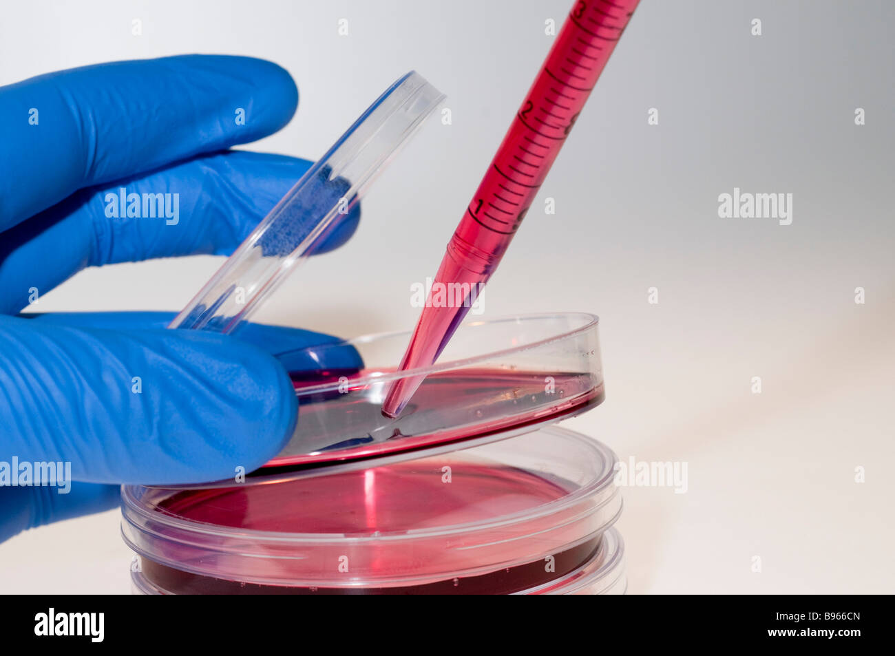 Cell cultures in Petri dishes Stock Photo