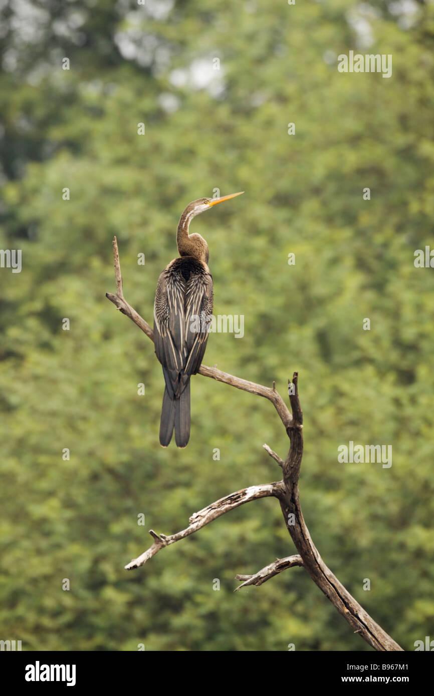 Indian Darter Perched Snakebird Anhinga Anhinga melanogaster Keoladeo Ghana National Park Bharatpur Rajasthan India - Stock Image