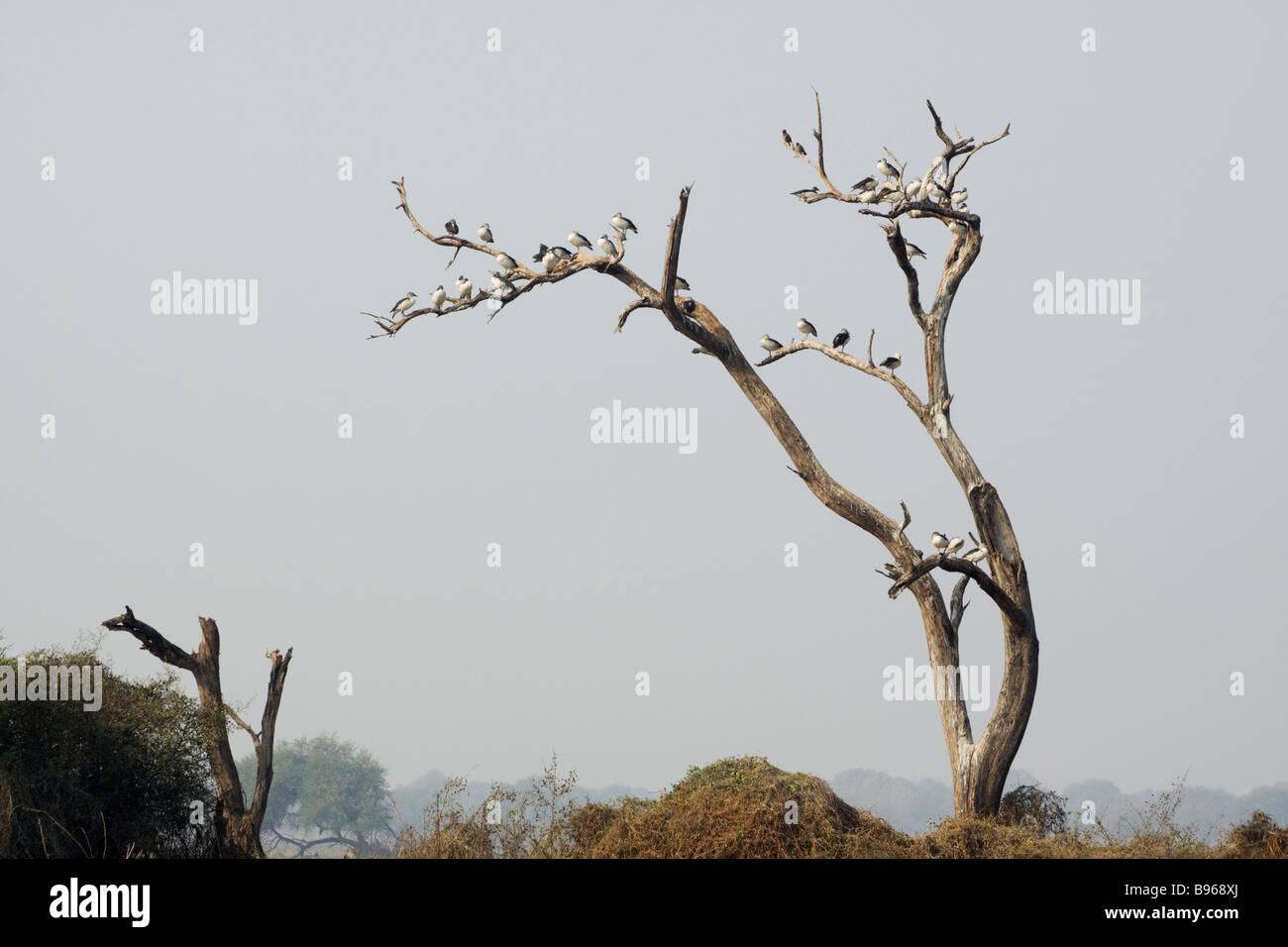 Comb Duck Roosting in dead tree Sarkidiornis melanotos Keoladeo Ghana National Park Bharatpur Rajasthan India BI017672 - Stock Image