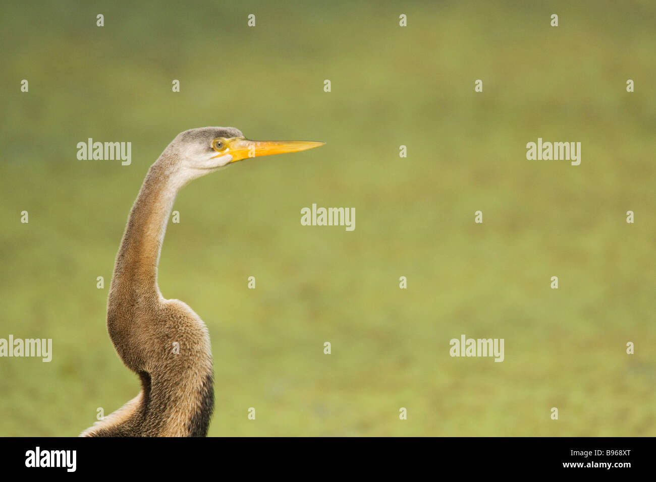 Indian Darter - Close up (Snakebird, Anhinga) Anhinga melanogaster Keoladeo Ghana National Park Bharatpur, India - Stock Image