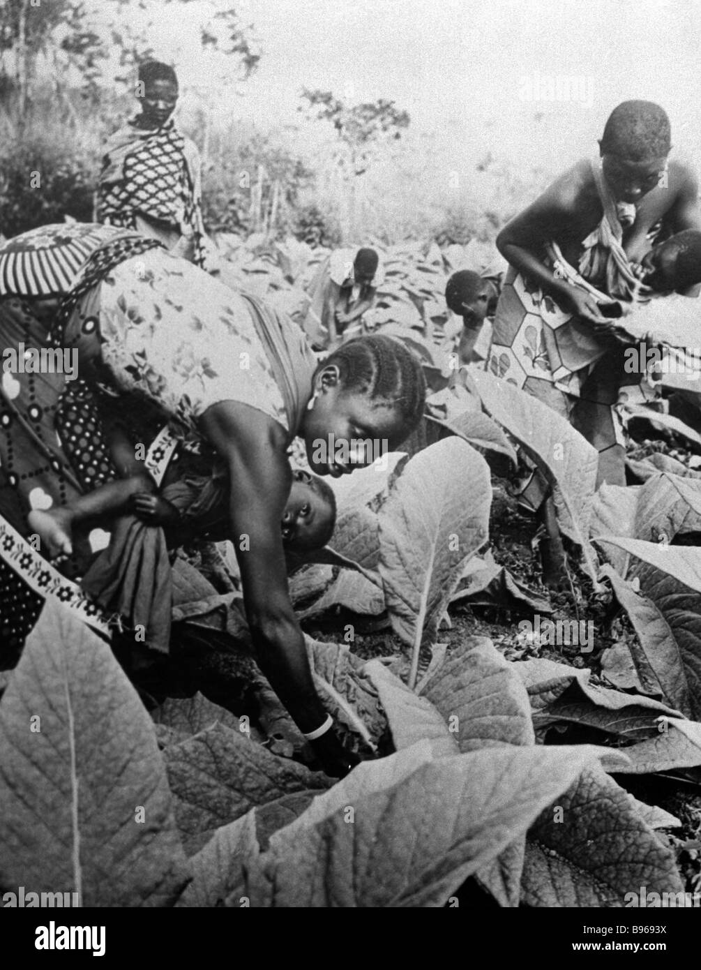 Women picking tobacco leaves on the plantation - Stock Image