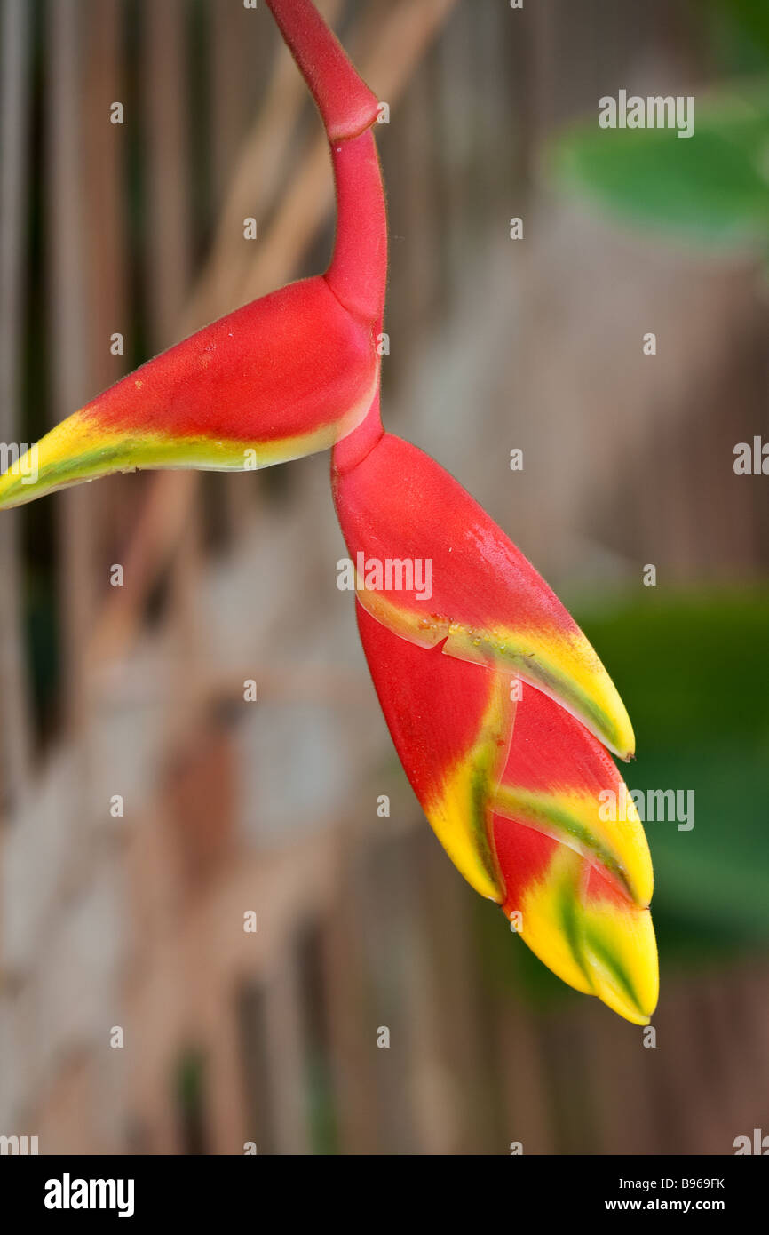 Heliconia pendula, a flambouyant flowering plant found in tropical climates - Stock Image