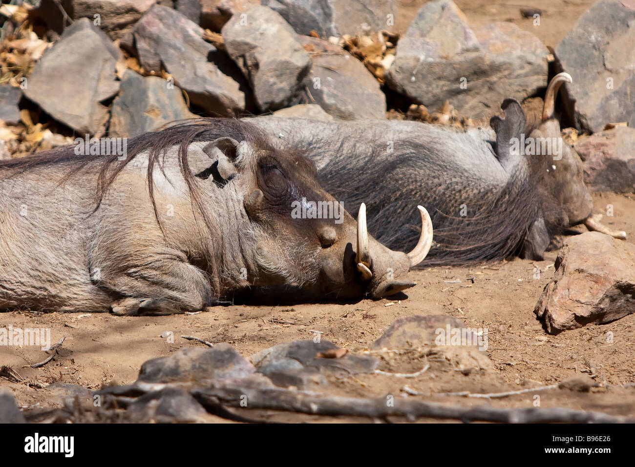 Wart hogs at the Denver Zoo - Stock Image