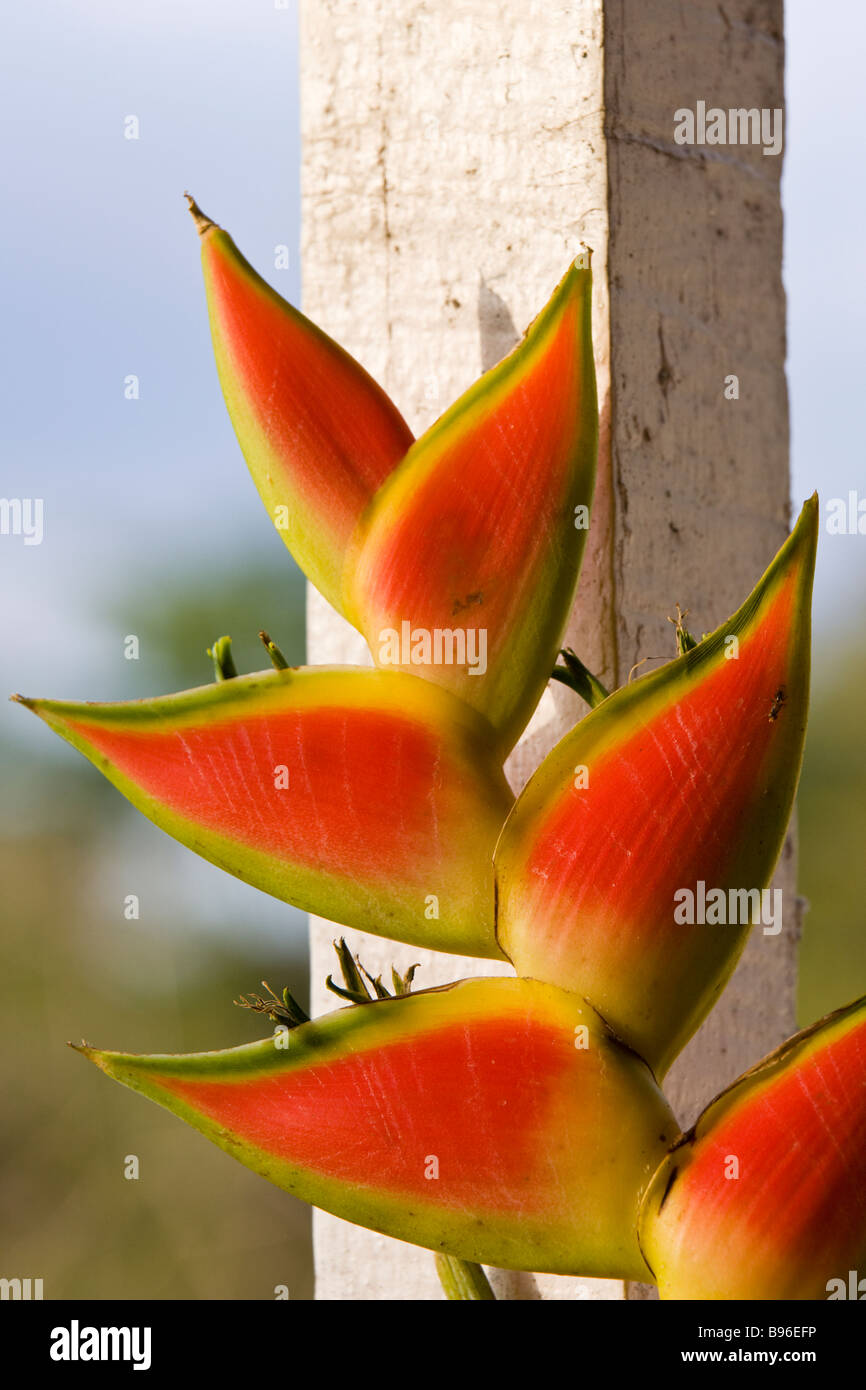 A Lobster Claw Heliconia (Heliconia rostrata) in the Osa Peninsula, Costa Rica. - Stock Image
