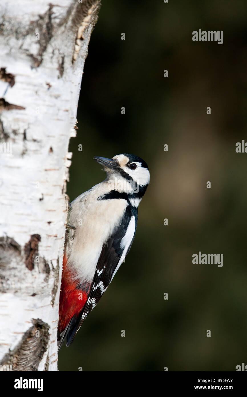 Buntspecht Great spotted woodpecker Dendrocopos major sitting on tree trunk - Stock Image