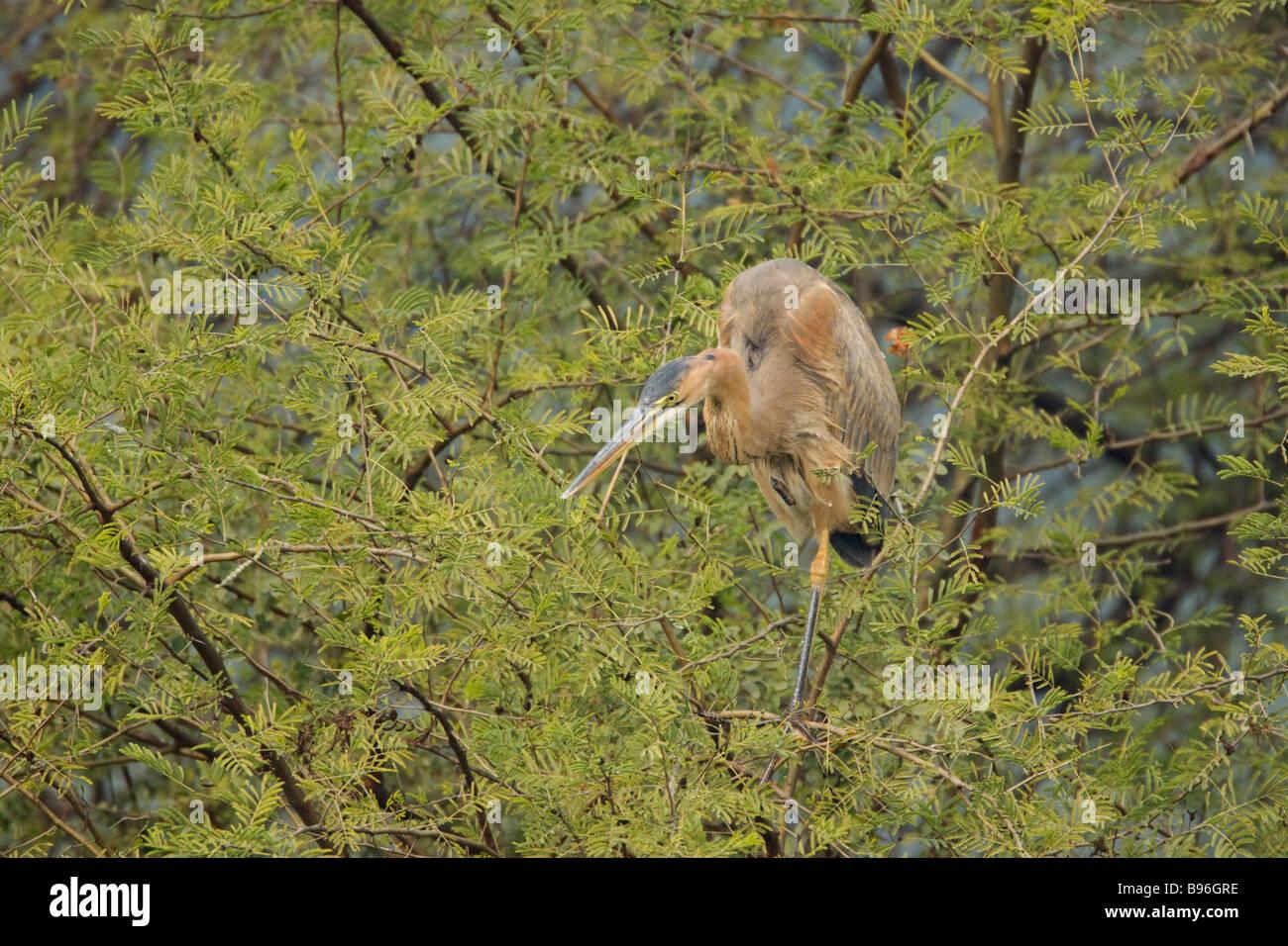 Purple Heron In tree Ardea purpurea Keoladeo Ghana National Park Bharatpur Rajasthan India BI018039 - Stock Image