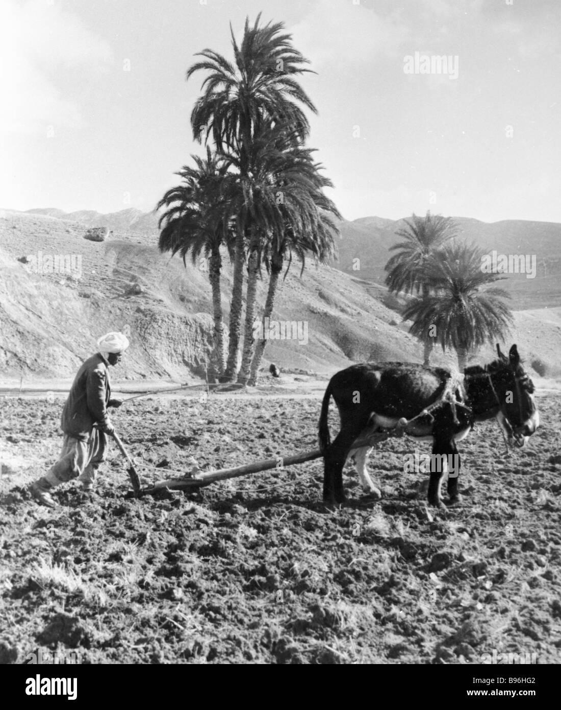 Algerian peasant uses wooden plough - Stock Image
