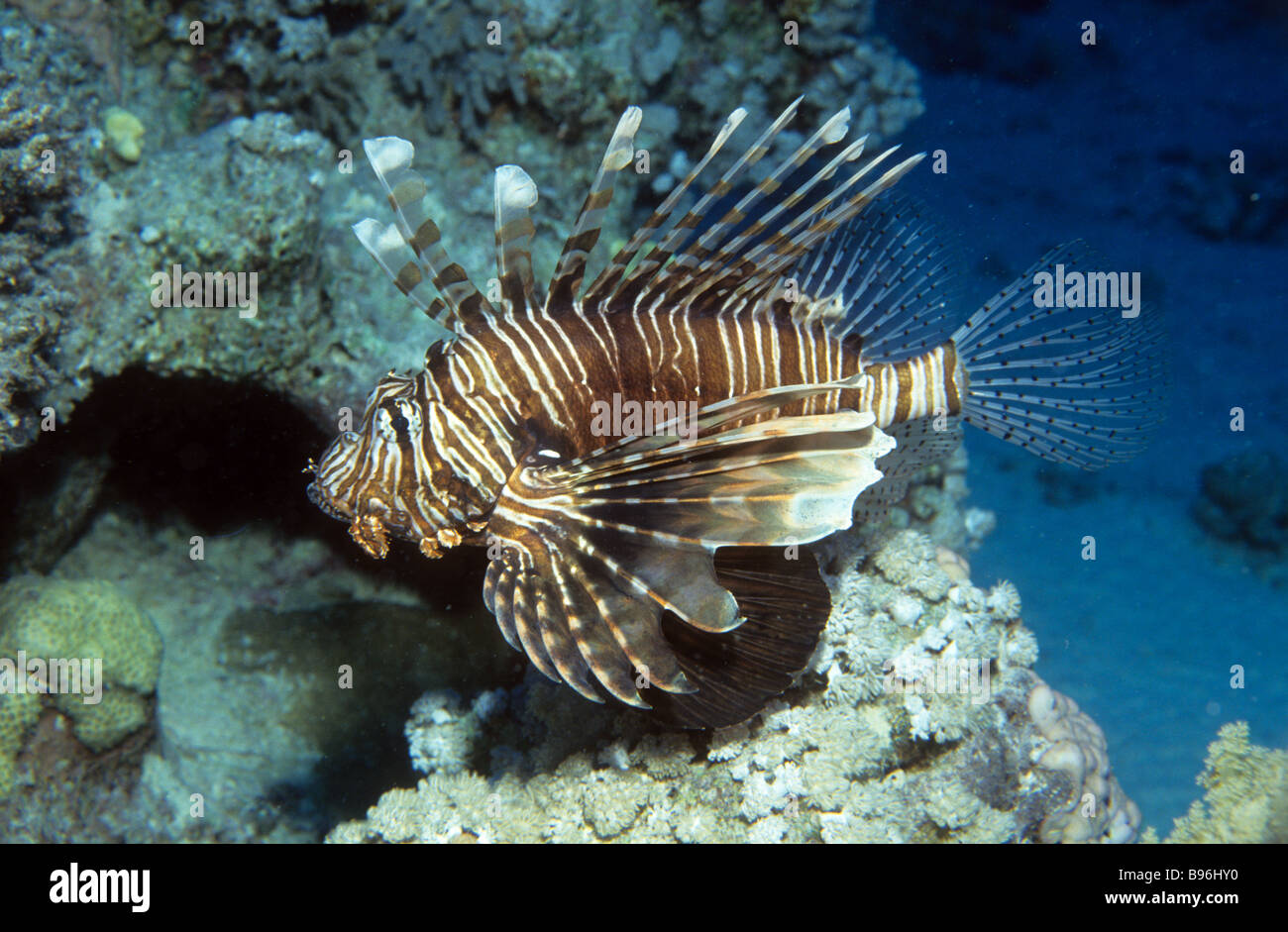 Devil firefish Râs Muhammad Egypt Red Sea Indian Ocean Africa The devil firefish Pterois miles is closely related Stock Photo