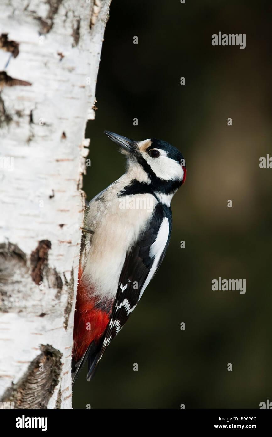 Buntspecht Great spotted woodpecker Dendrocopos major - Stock Image