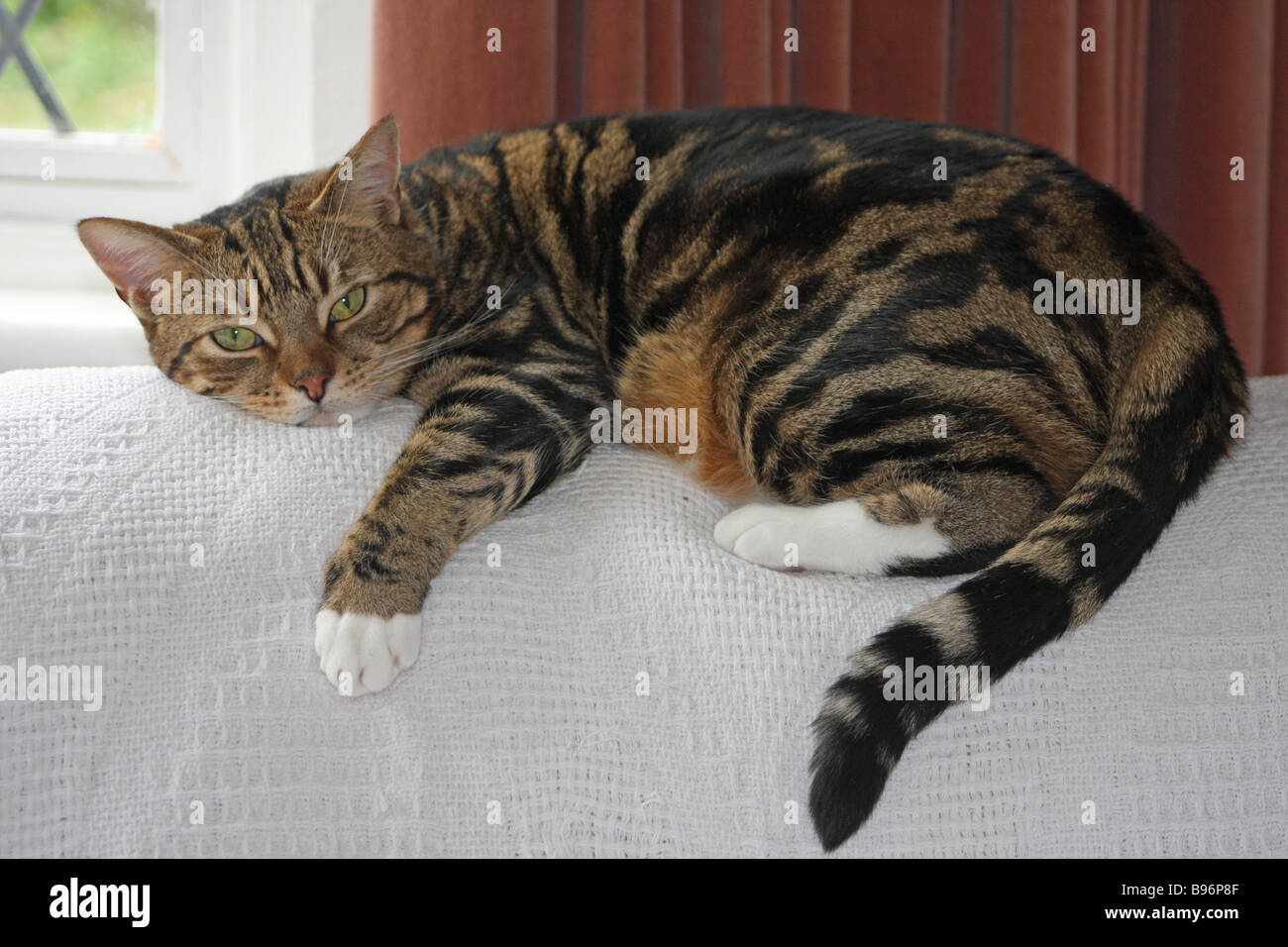 Cat With White Feet High Resolution Stock Photography And Images Alamy