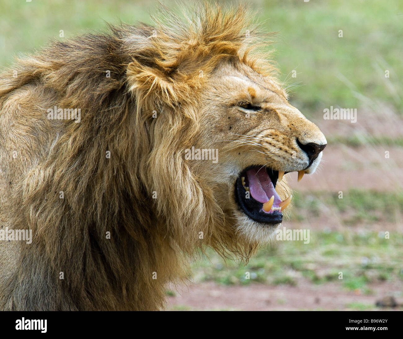 Snarling young male lion in Masai Mare, Kenya - Stock Image