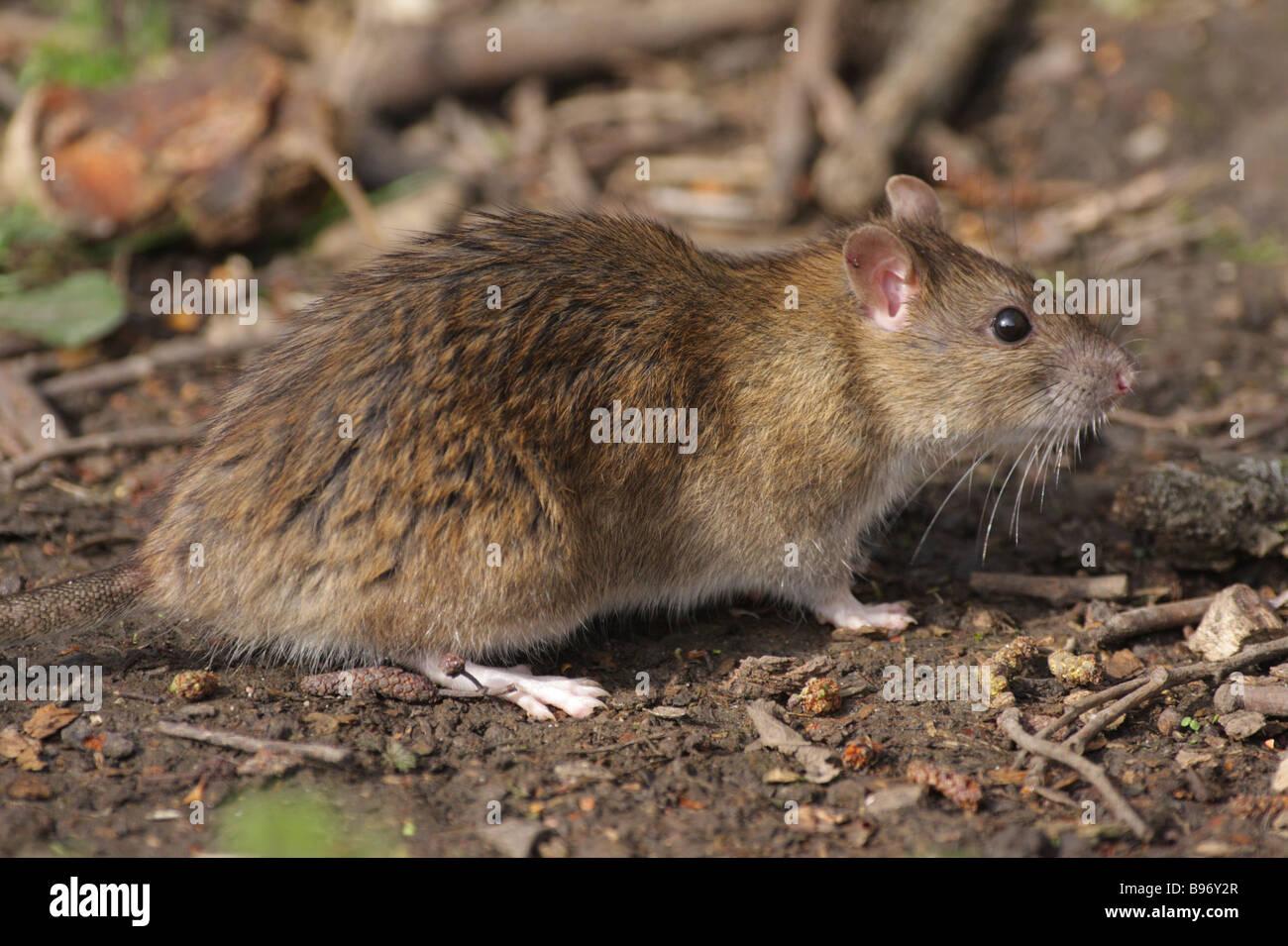 Brown Rat - Rattus norvegicus - Stock Image