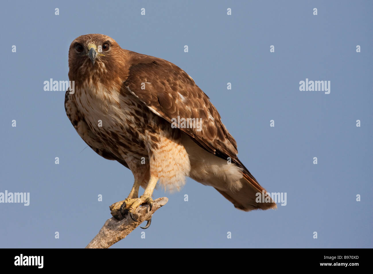 Red Tailed Hawk Sitting On A Branch In The Tulelake Wildlife Refuge Stock Photo Alamy