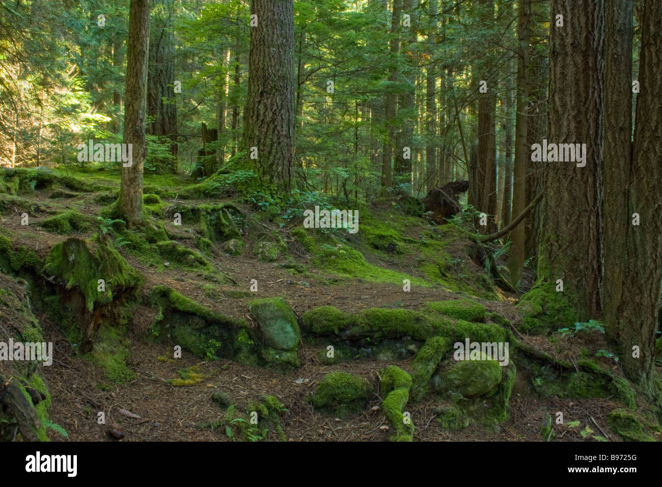 Moss and trees, British Columbia Cananda - Stock Image