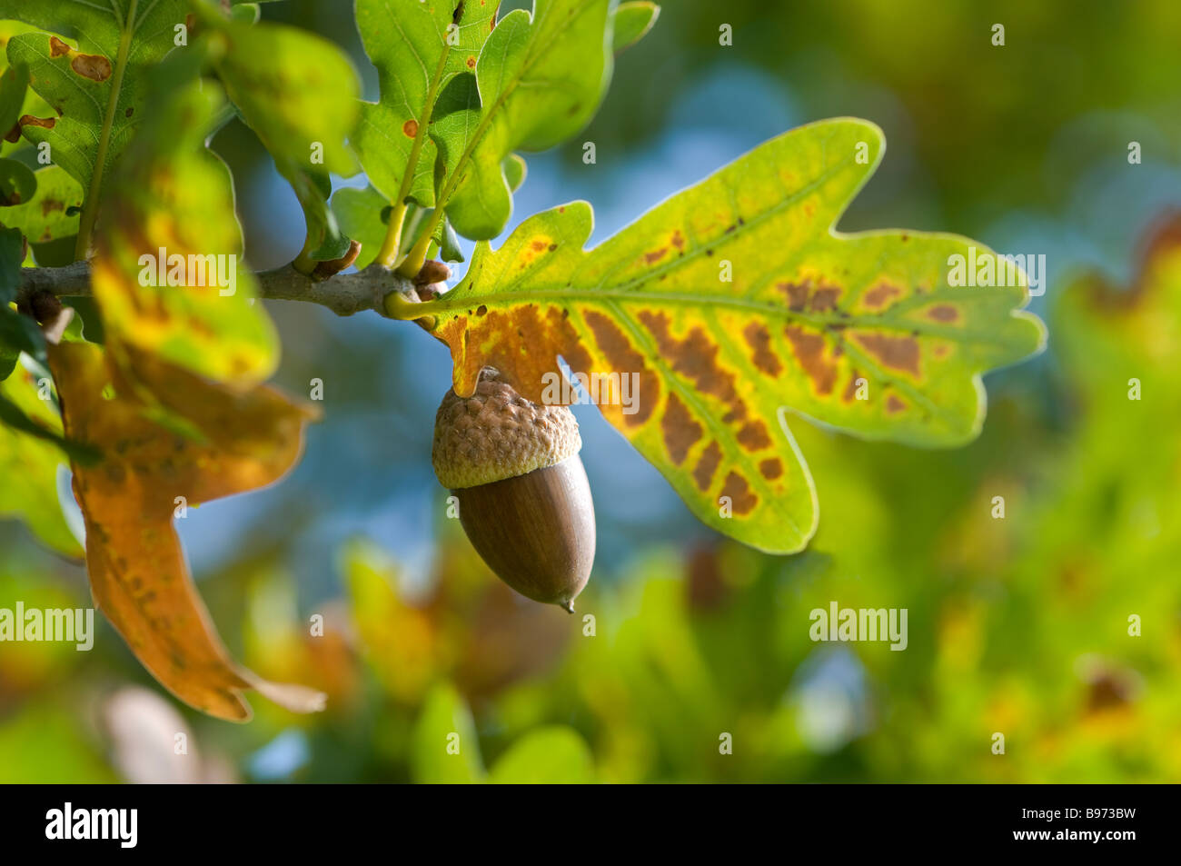 Oak Tree Autumn Stock Photos & Oak Tree Autumn Stock Images - Alamy
