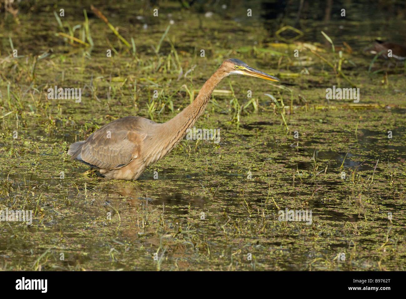 Purple Heron Hunting Ardea purpurea Keoladeo Ghana National Park Bharatpur Rajasthan India BI018051 - Stock Image