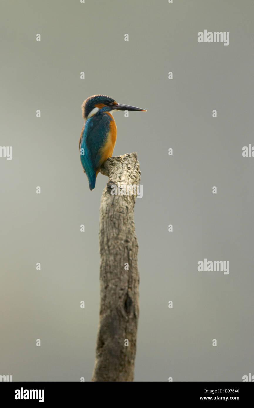 Common Kingfisher Alcedo meninting Keoladeo Ghana National Park Bharatpur Rajasthan India BI018092 - Stock Image