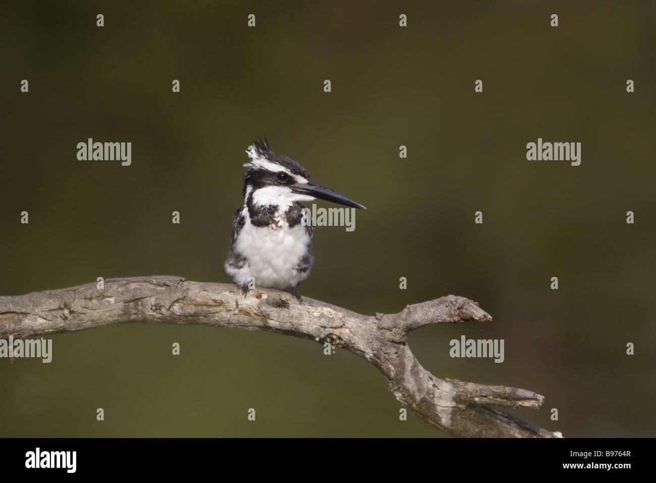 Pied Kingfisher Ceryle rudis Keoladeo Ghana National Park Bharatpur Rajasthan India BI018108 - Stock Image